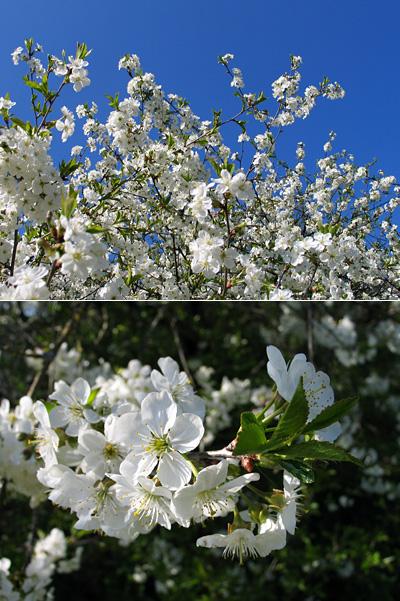 Kirsikkapuun kauniit kukat