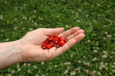 Kourallinen mansikoita