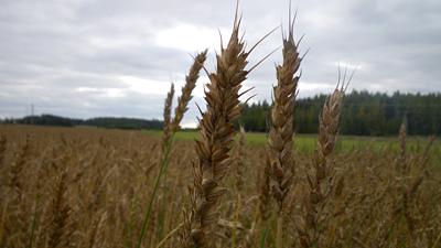 Pohjoista viljaa
