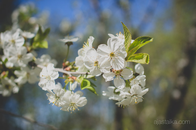 Kirsikkapuu kukassa I