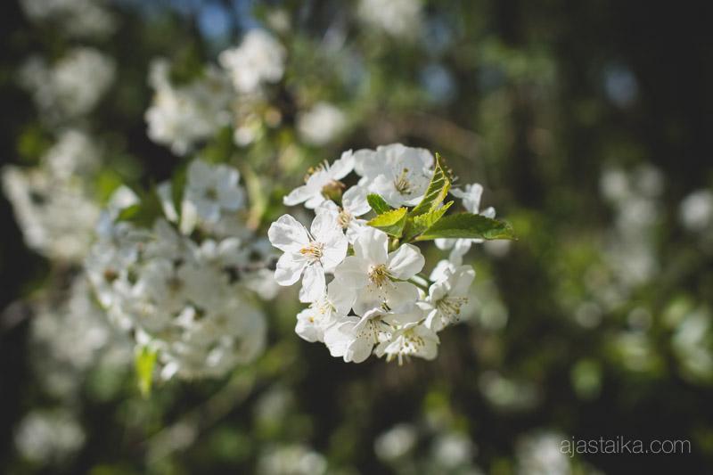 Kirsikkapuu kukassa II