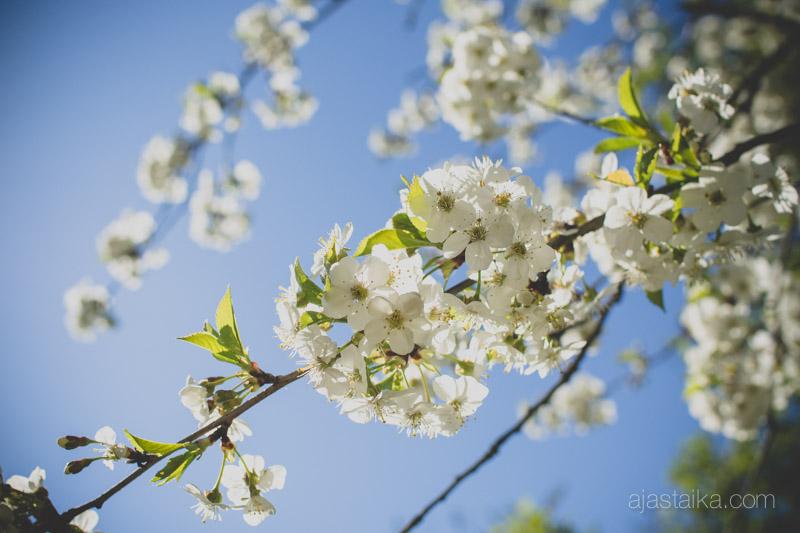 Kirsikkapuu kukassa III