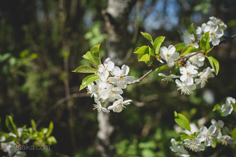 Kirsikkapuu kukassa IV