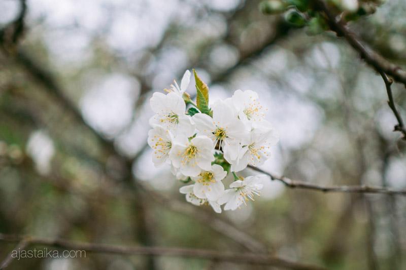 Oksan pää kukassa
