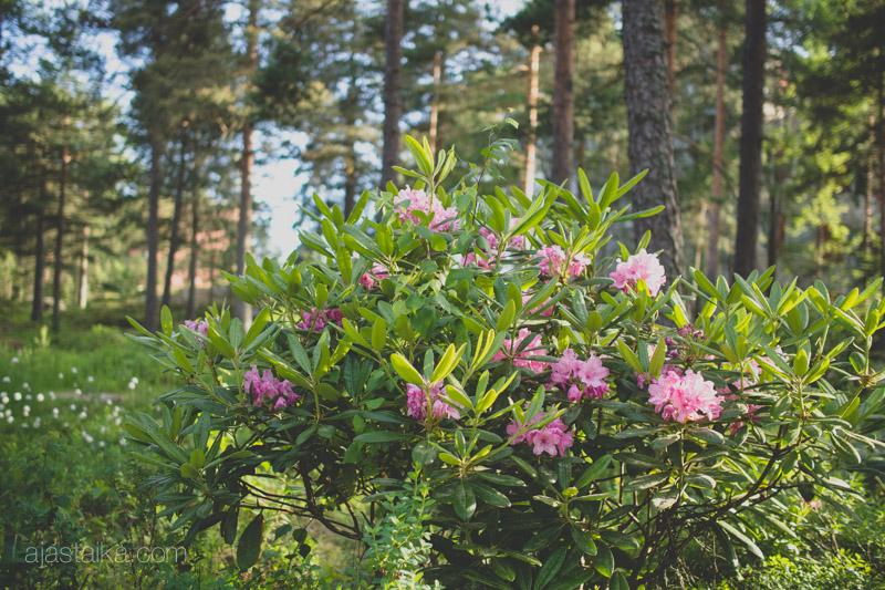 Raision alppiruusupuistossa