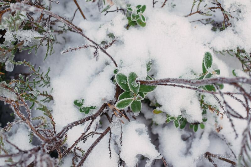 Varpuja lumen alla