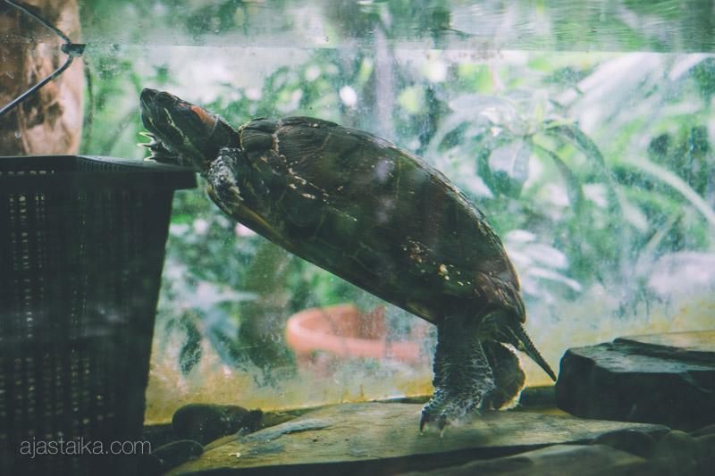 Alma-kilpikonna