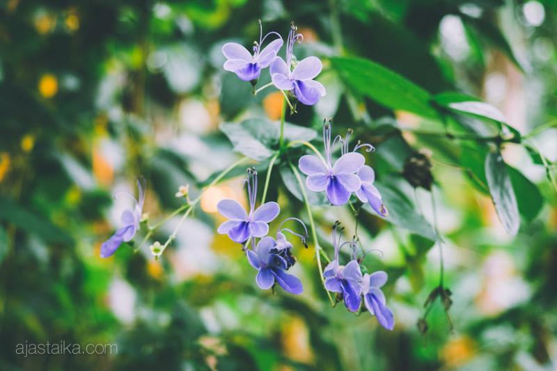 Pienet violetit