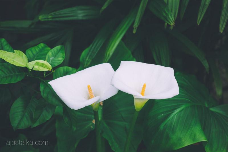 Valkoinen kaksikko