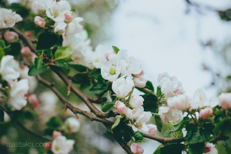 Omenapuu kukassa