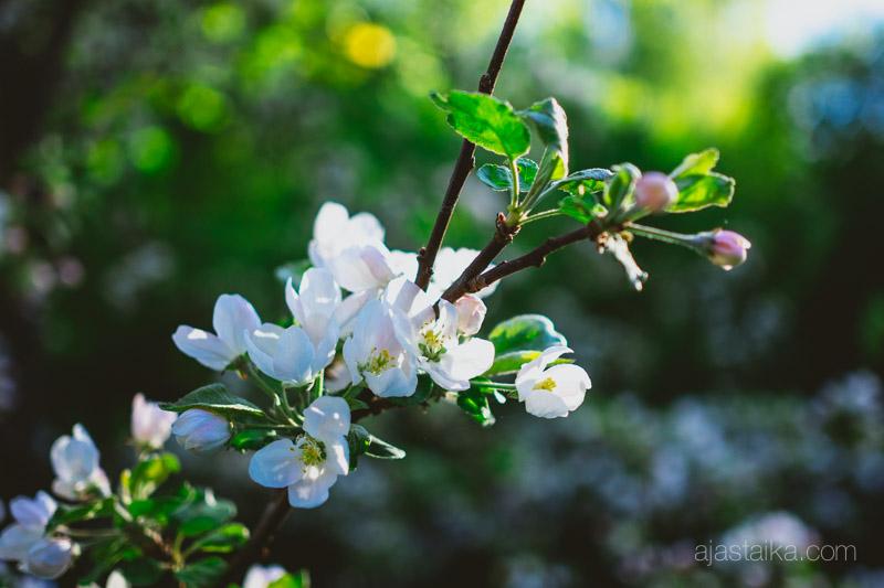 Omenankukat ilta-auringossa