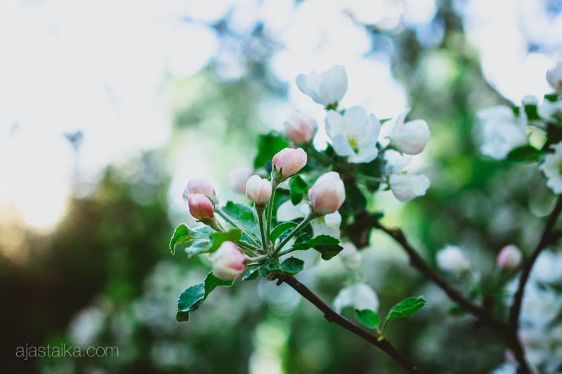 Kukkaan puhkeamassa