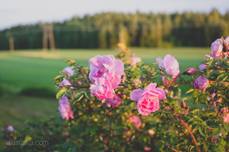 Ruusut ilta-auringossa
