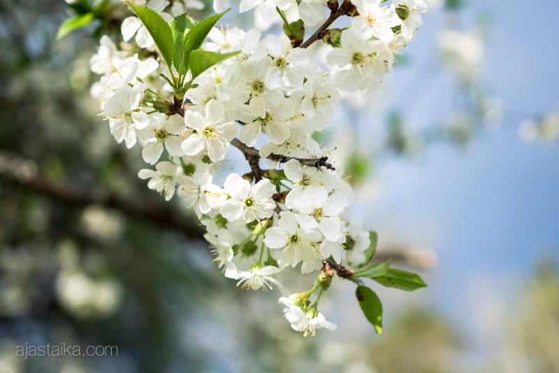 Kirsikankukat kauniina