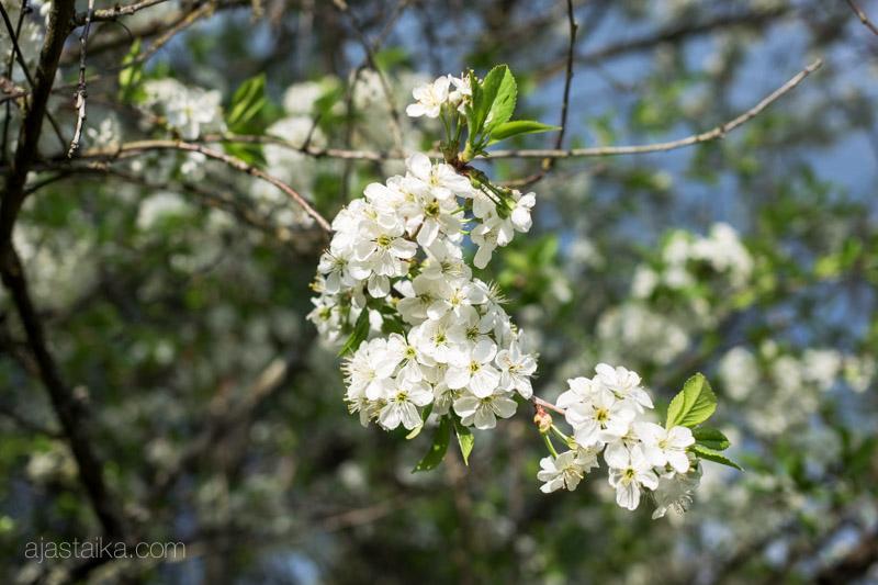 Lisää kirsikankukkia