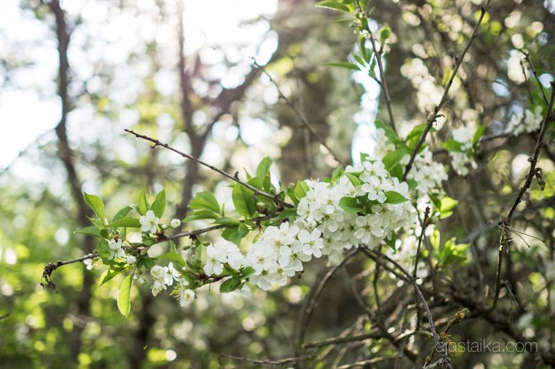 Kukkiva oksanhaara