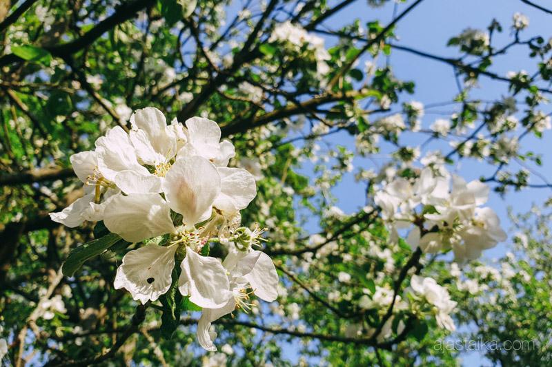 Omenapuu kukkineen